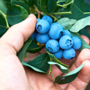 hand picking fresh organic blueberries off a bush