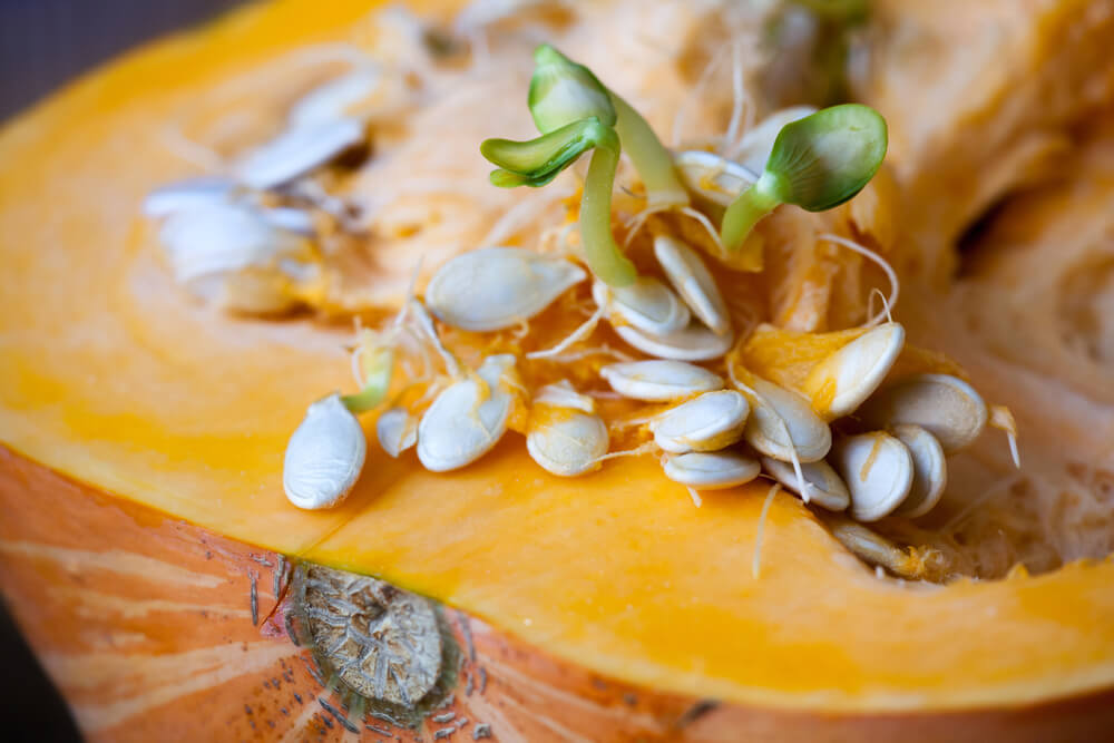pumpkin seed sprouting