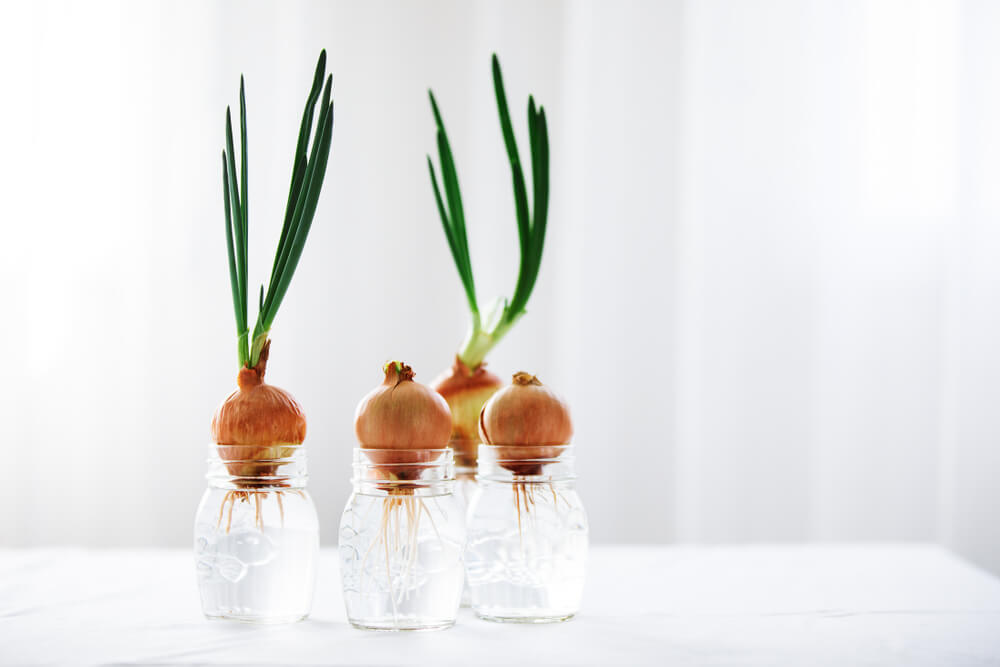 green onions sprouting from onion