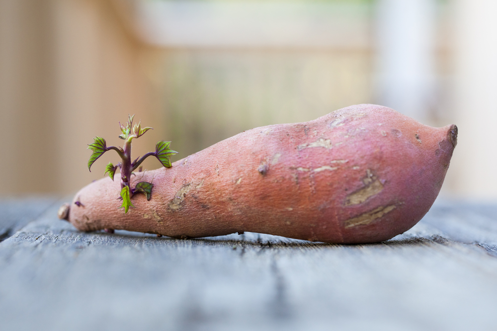 yam sprouting