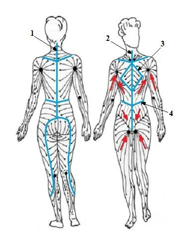 diagram of how lymphatic fluid drains in the body