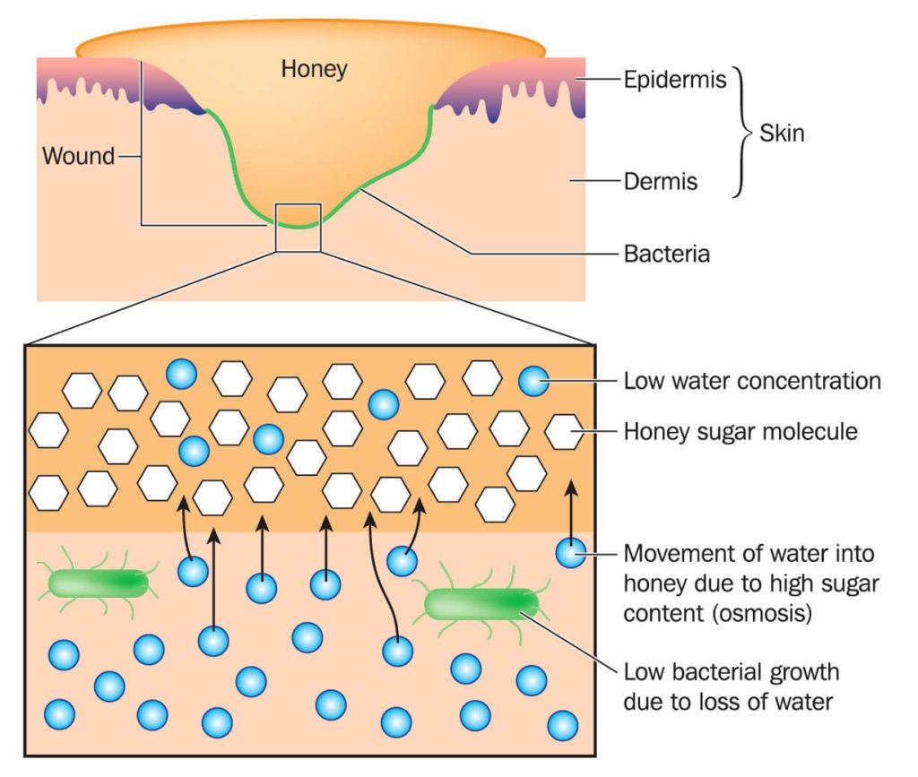 honey healing the skin diagram