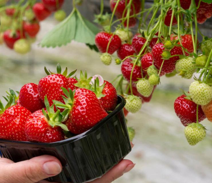 woman picking strawberries from raingutter strawberry garden