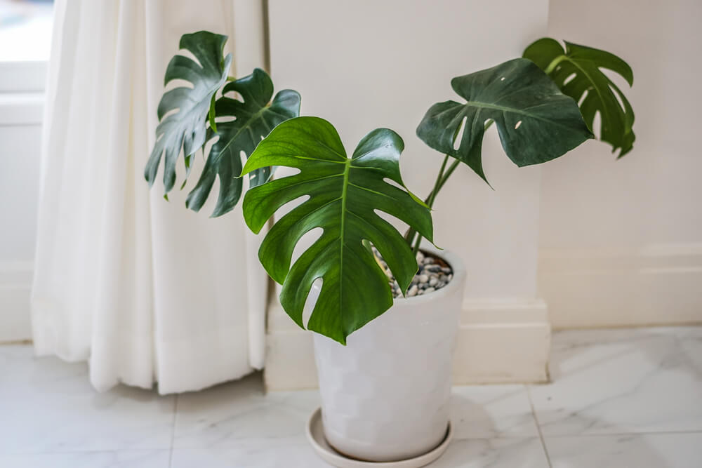 indoor air purifying plant