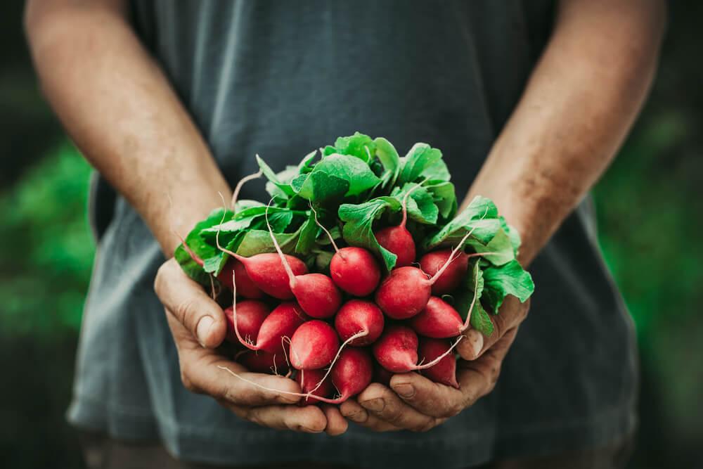 gardener holding bunch of radishes