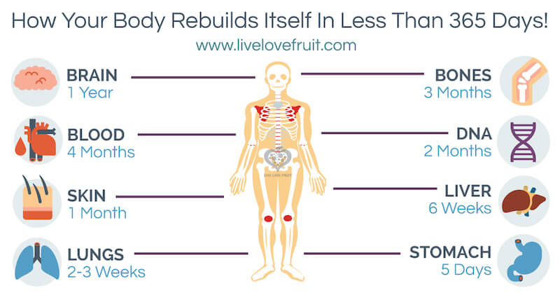 How Your Body Rebuilds Itself In Less Than 365 Days!