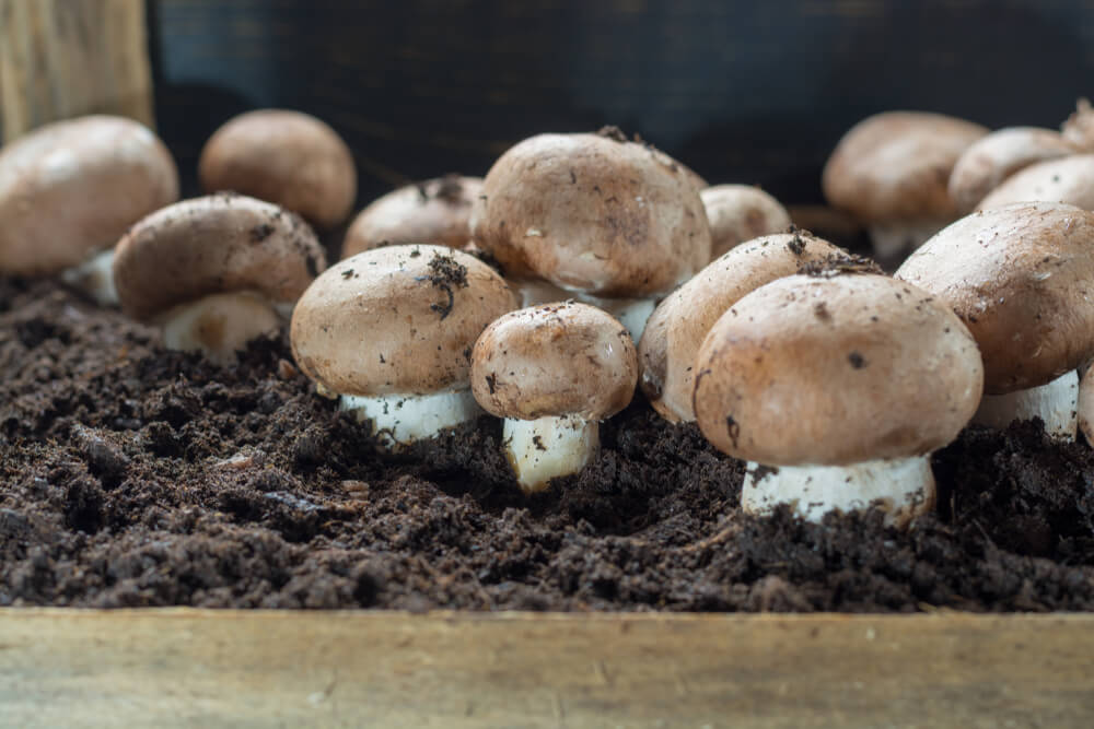 Cultivation of brown champignons mushrooms