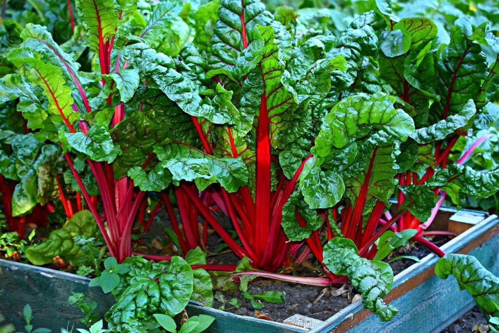 swiss chard growing in garden