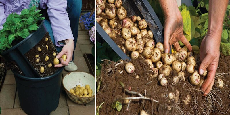 Grow A Hundred Pounds of Potatoes