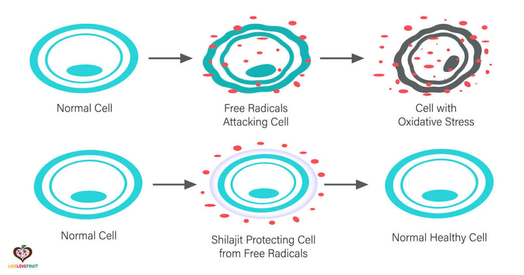 oxidative stress on normal cell vs. when protected by shilajit