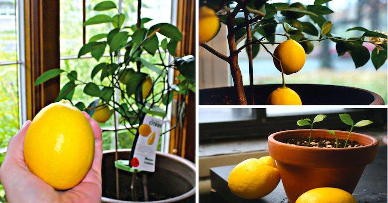 how-to-grow-lemon-tree