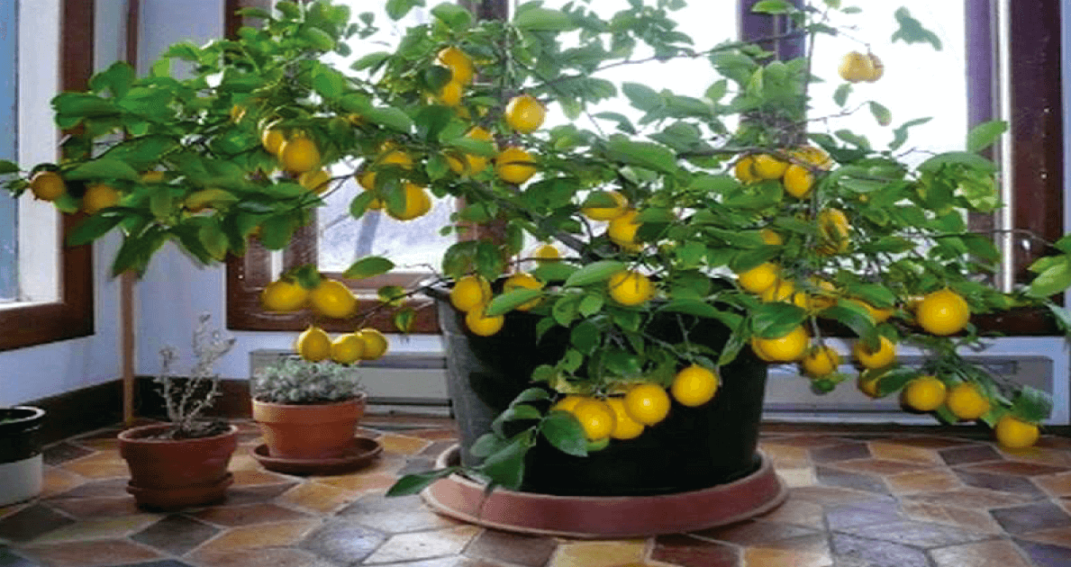 How To Plant And Keep An Indoor Lemon Tree From Just 1