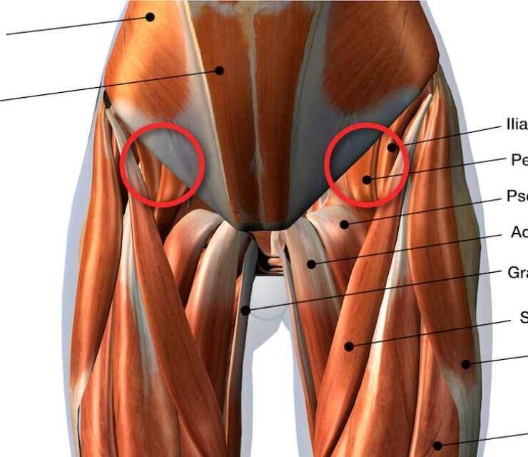 3d rendering of Front Leg Muscles