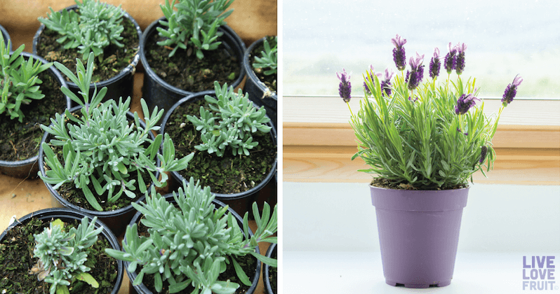 How To Grow Lavender At Home Relieve Stress And Anxiety Every Time You Walk Into Your House