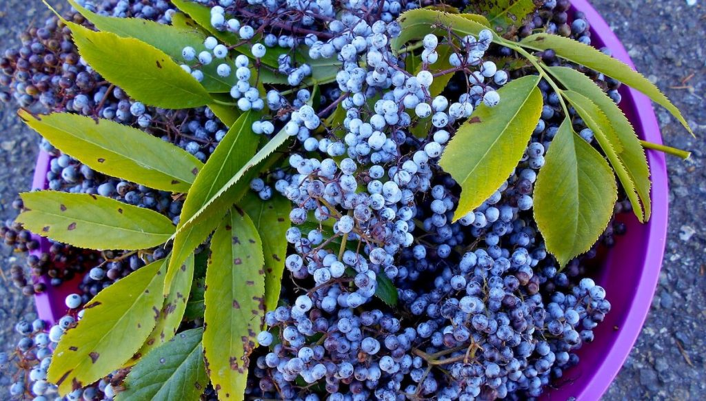 Wild foraged elderberries for the health benefits of elderberry extract