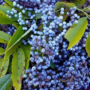 Wild foraged elderberries for the health benefits of elderberry extract