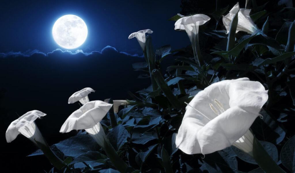 moonflowers blooming in the moonlight