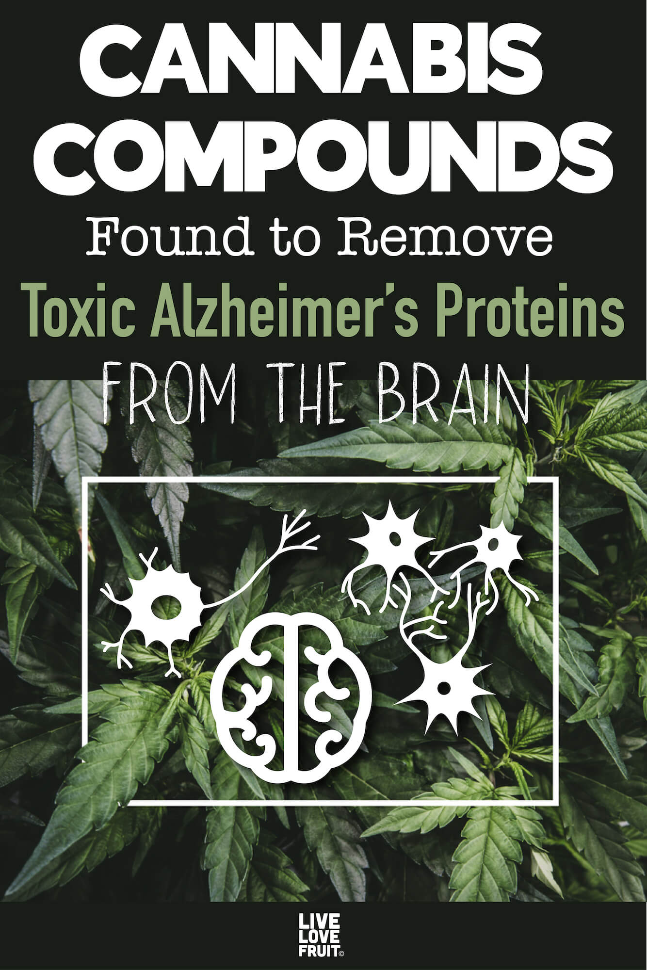 cannabis with white outline box in the middle with brain and neurons with text - cannabis compounds found to remove toxic alzheimer's proteins from the brain