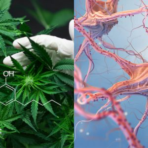 gloved hands holding cannabis with CBD structure on top next to image of neurons