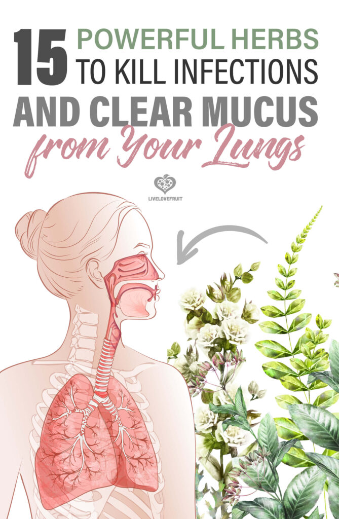 illustration of lungs next to herbs with text - 15 powerful herbs to kill infections and clear mucus from your lungs