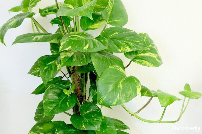 philodendron happiness