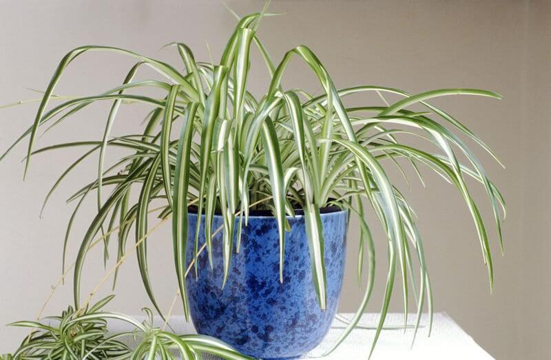 spider plant happiness