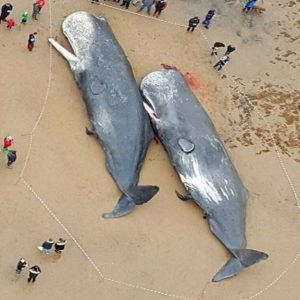 whales dying from plastic pollution