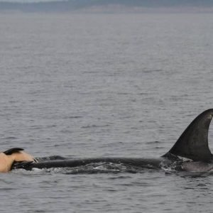 grieving mother orca whale