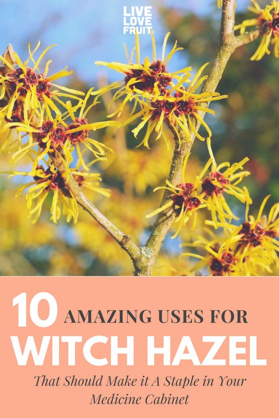 witch hazel plant with blue sky with text - 10 amazing uses for witch hazel that should make it a staple in your medicine cabinet