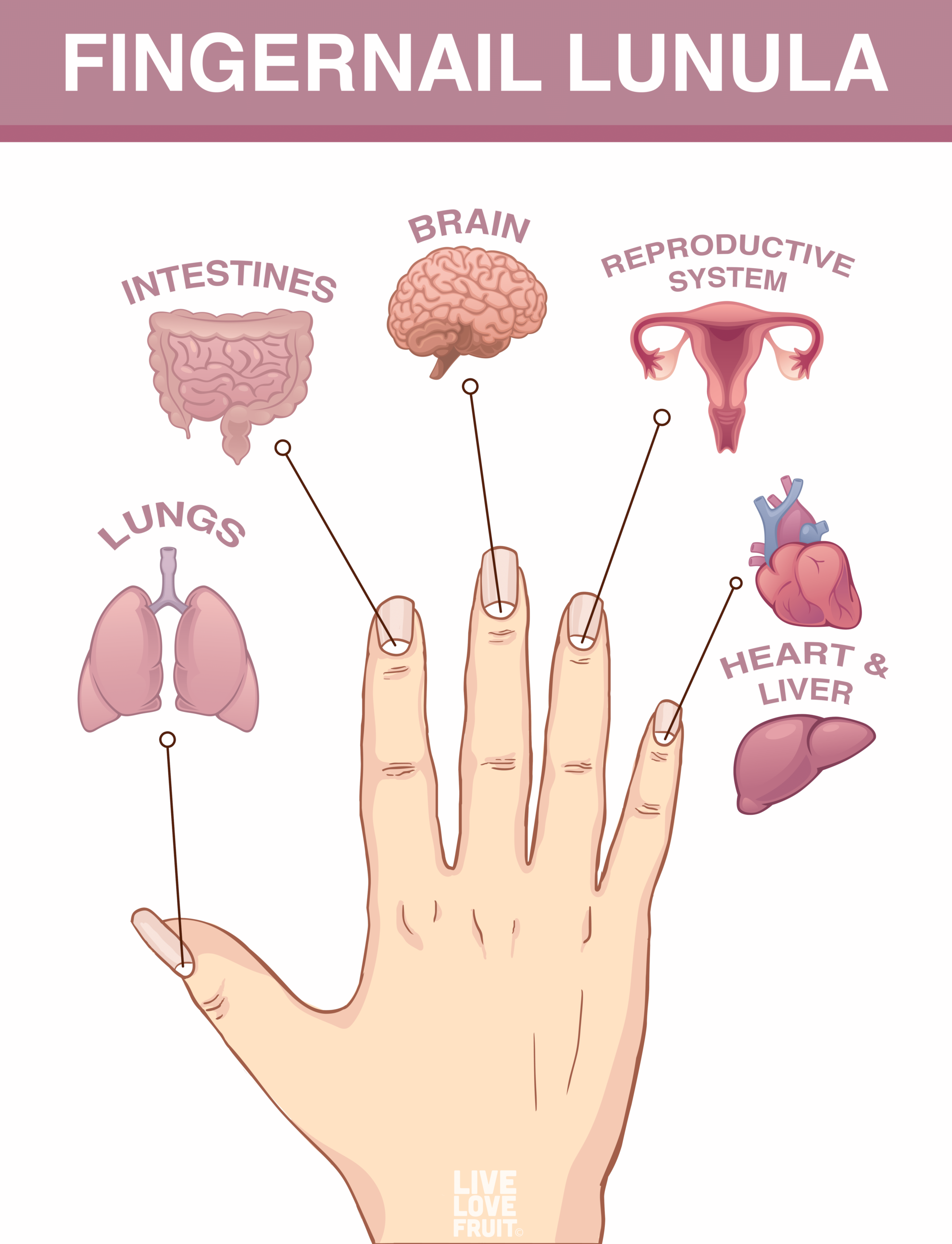 fingernail lunula