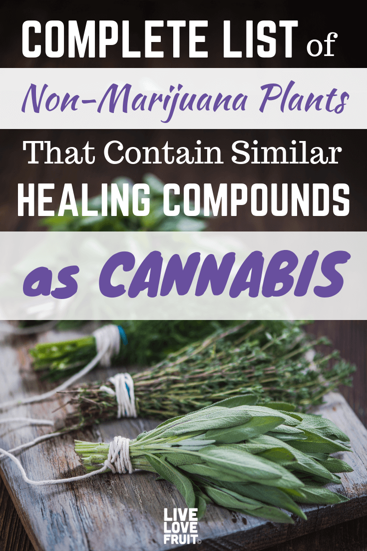 When it comes to healing the body, these non-marijuana plants act similar to cannabis, but without the high. Here are the plants to keep an eye out for.