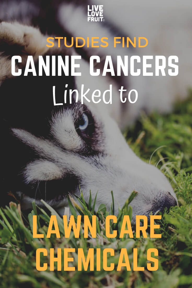 canine cancer linked to lawn care chemicals
