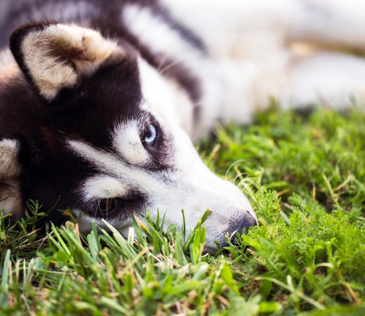 canine cancers linked to lawn care chemicals
