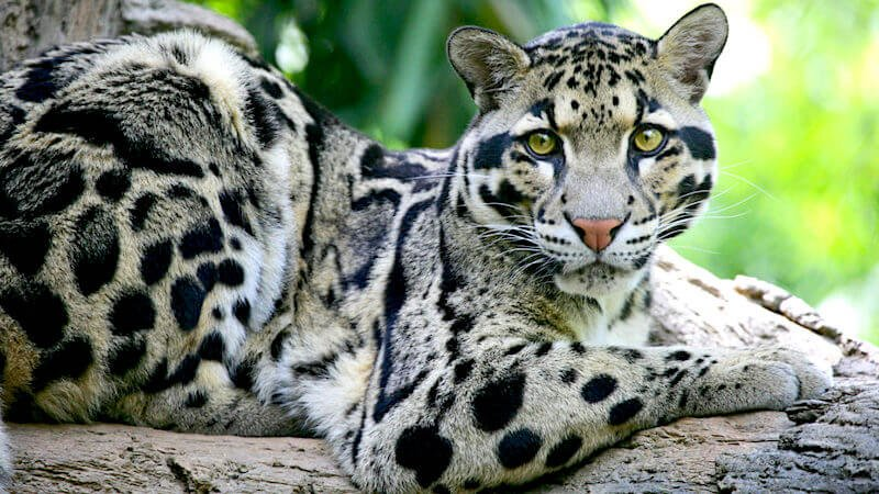 extinct taiwanese leopard