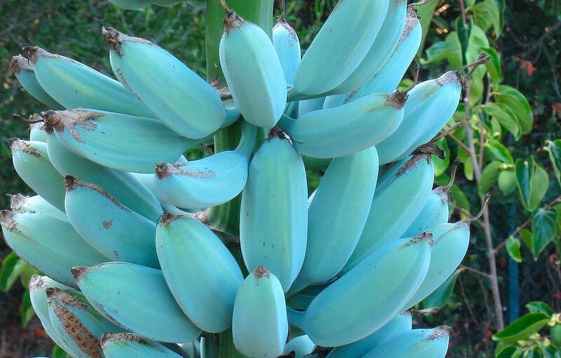 blue java bananas