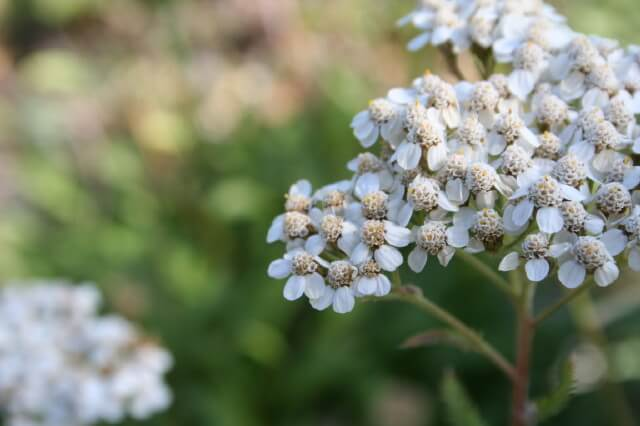 White Yarrow - Tiny white flowers that grow in bunches