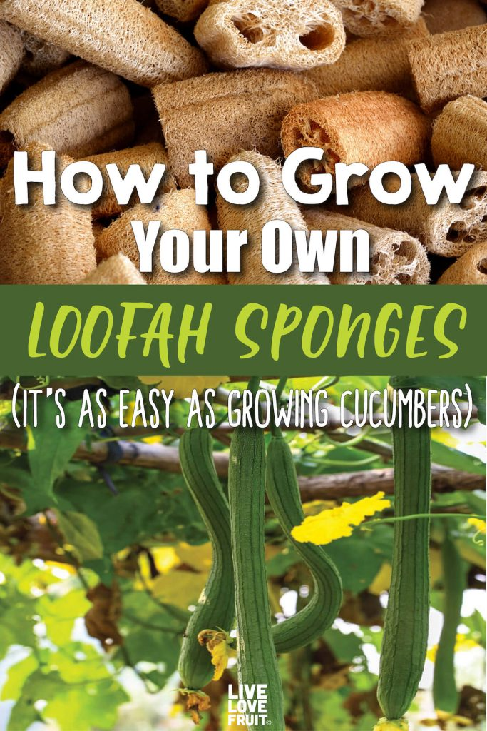 Dried Loofah Sponge Pieces and Fresh Loofah Growing on Trellis with Text - How to Grow Your Own Loofah Sponges (It's as Easy as Growing Cucumbers)
