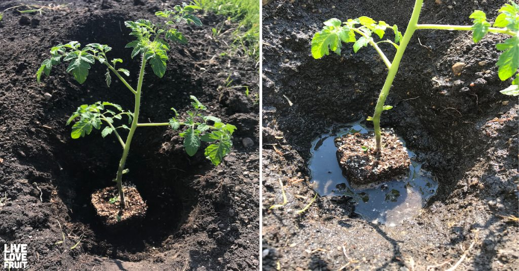 Hole Dug in Soil and Tomato Plant Placed Inside Next to Photo of Tomato Plant in Hole Filled with Lots of Water