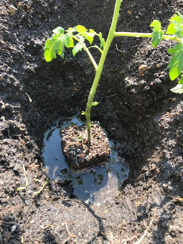 Hole in Mud with Tomato Plant and Water Surrounding the Base of the Plant in Hole