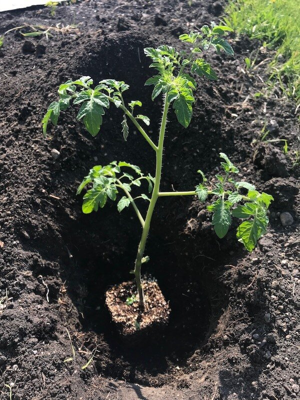 Deep Hole with Tomato Plant Inside
