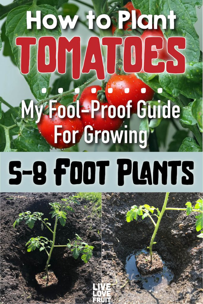 Tomato Plants Transplanted into Freshly Dug out Hole with Image of Tomato Fruit Above in Another Block with Text - How to Plant Tomatoes: My Fool-Proof Guide for Growing 6-8 Foot Plants