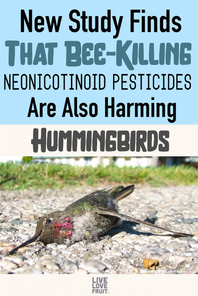 Dead hummingbird on street with text - New Study Finds That Bee-Killing Neonicotinoid Pesticides Are Also Harming Hummingbirds