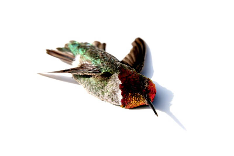 Dead Hummingbird on White Background
