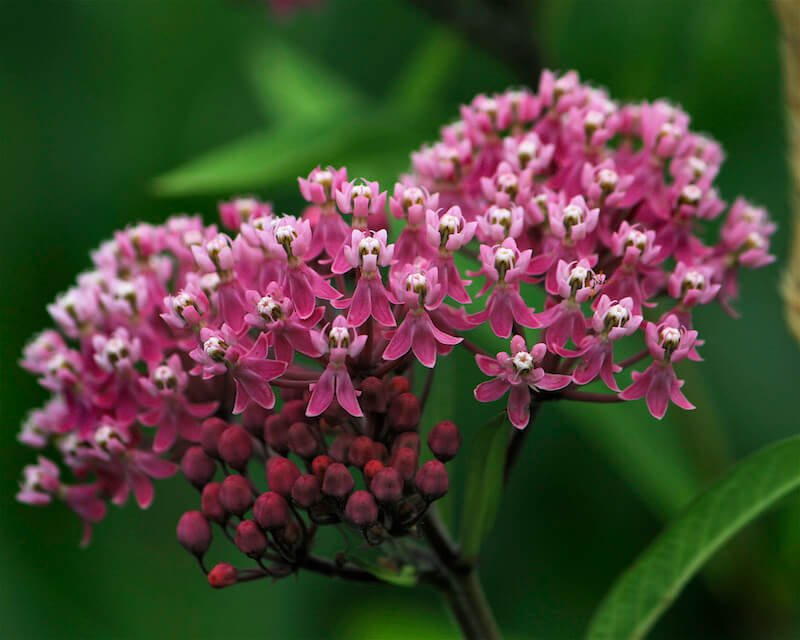Swamp Milkweed - Pink Flower That Grow in Bunches with White Center