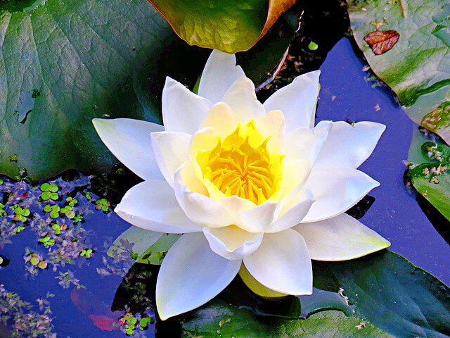 Water lily - white flower with yellow center that grows on top or near lily pads