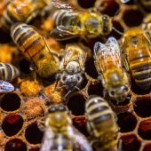 bees tending to honey comb