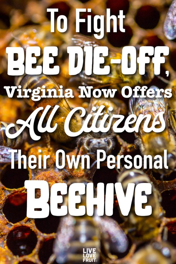 bees tending to their honeycomb with text - To Fight Bee Die-Off, Virginia Now Offers All Citizens Their Own Personal Beehive