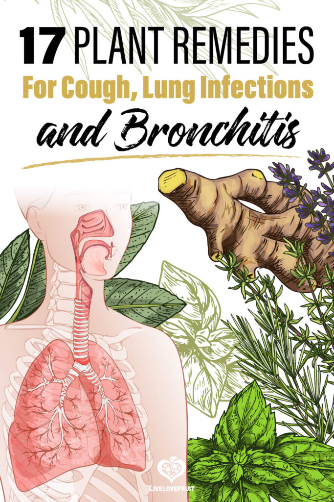 illustration of lungs with herbs with text - 17 plant remedies for cough, lung infections and bronchitis