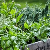 variety of herbs like basil, thyme and sage are often used as natural remedies for cough.
