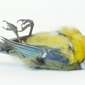 dead bird called a tit describing pesticides and birds